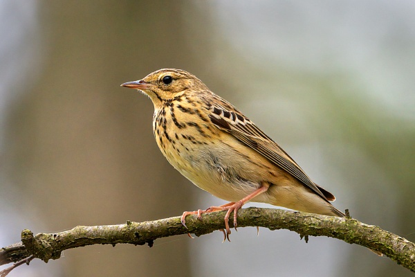 Tree Pipit (Anthus trivialis) by DerekL