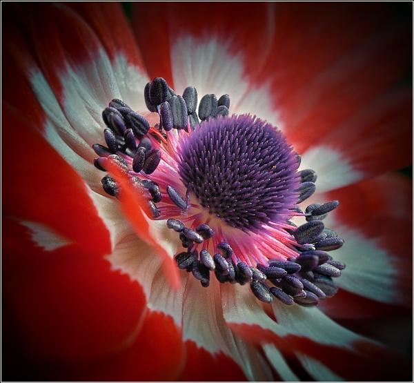 Anemone. by bricurtis