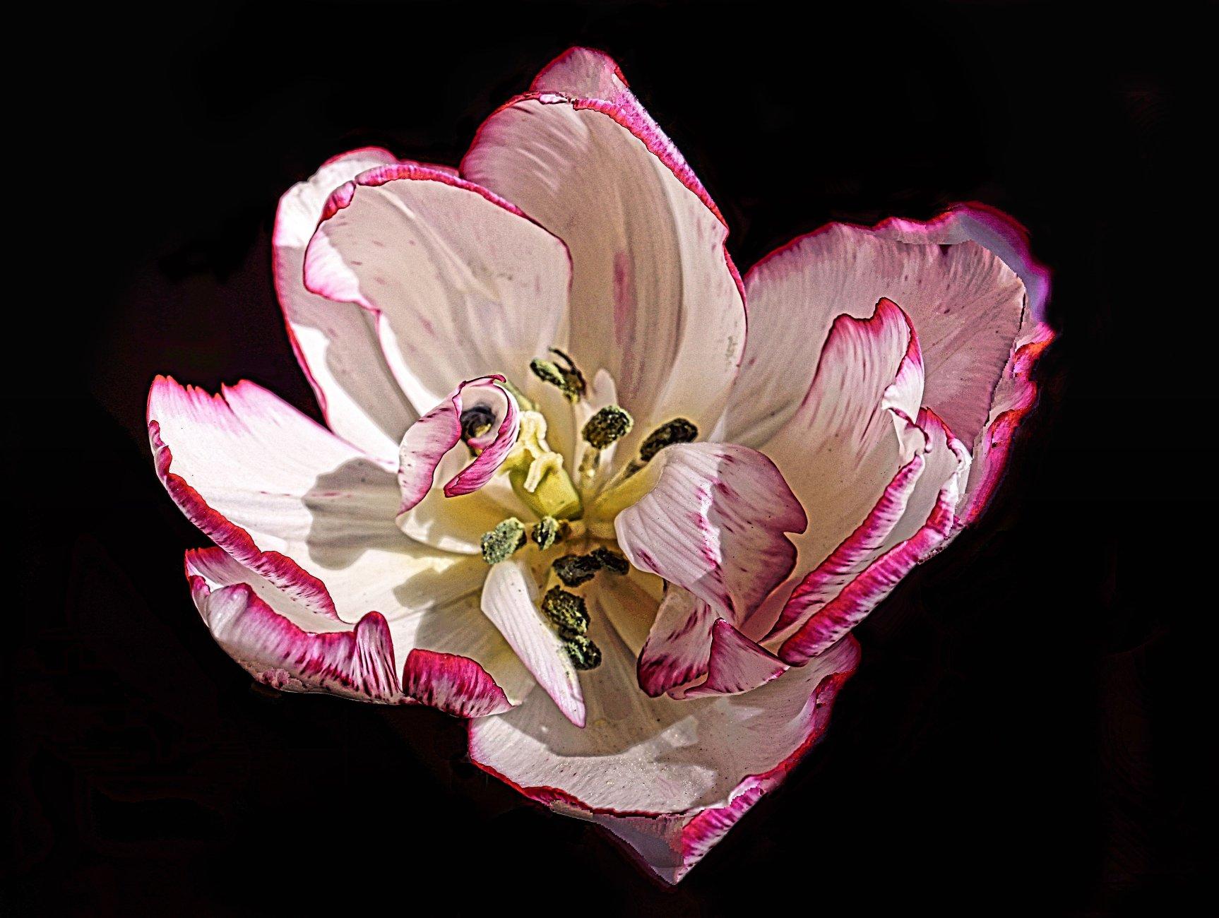 Tulipa Cartouche