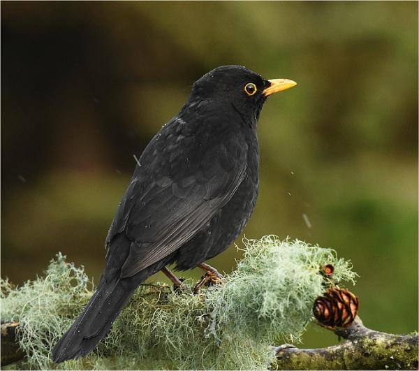 Blackbird by MalcolmM