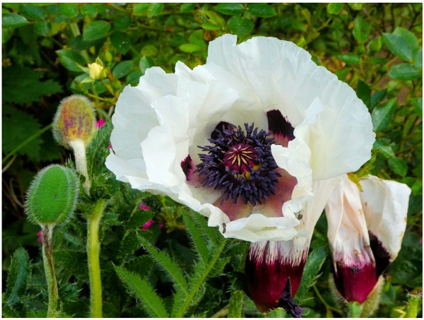 Two versions of garden Oriental Poppies by Rock
