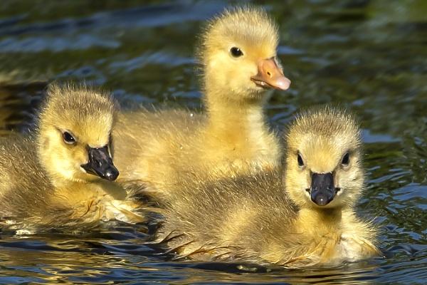 Three Chicks by chensuriashi