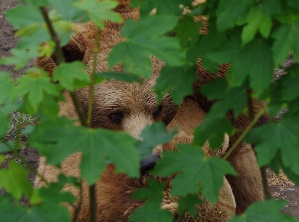 Brown Bear by Kako