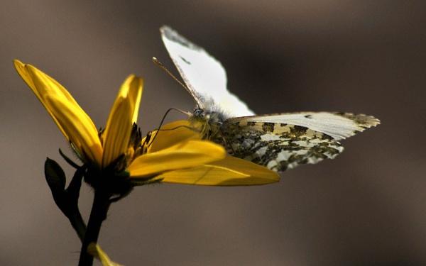 Female Orange Tip Nectaring by viscostatic