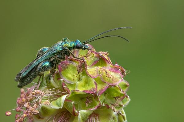 Thick Legged Flower Beetle by barrywebb