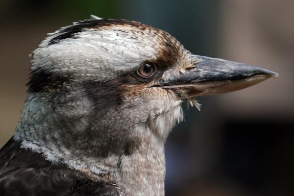 Kookaburra by paulbroad