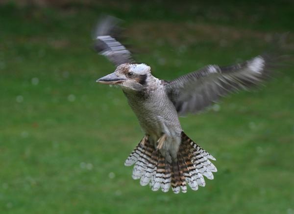 Kookaburra in flight. by paulbroad