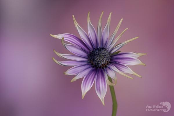 Osteospermum by Angi_Wallace