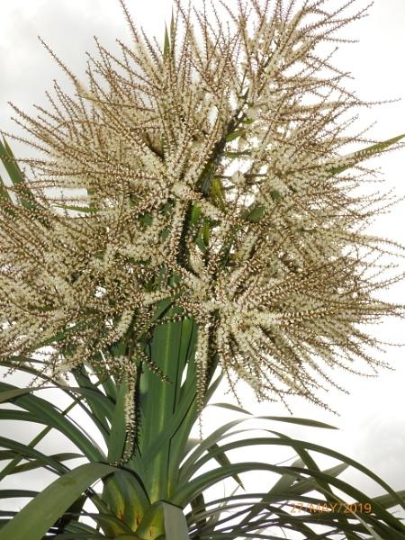 Cordyline in Flower by ELLISON58