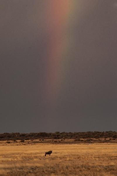 Lone Wildebeest by DennisT