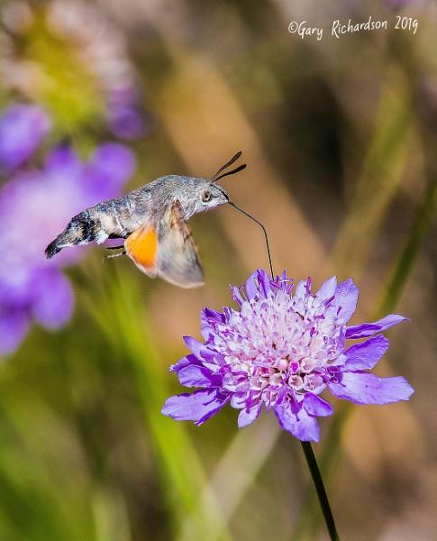hummingbird hawk-moth by djgaryrichardson