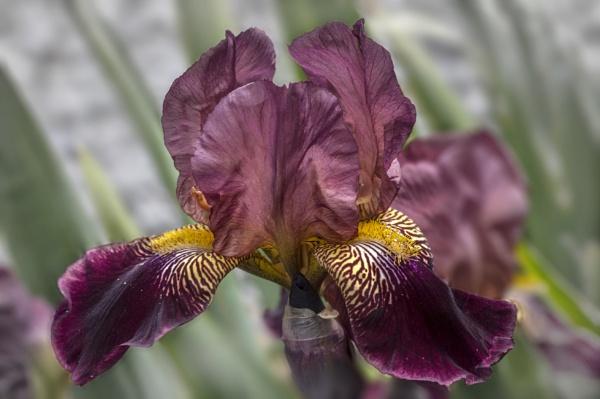 Iris by CaroleS