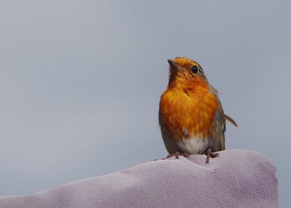 Robin by stinky_pete