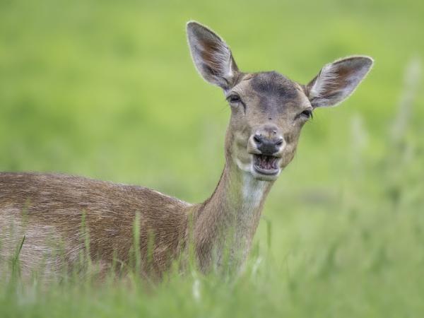 Fallow Deer by CraigWalker