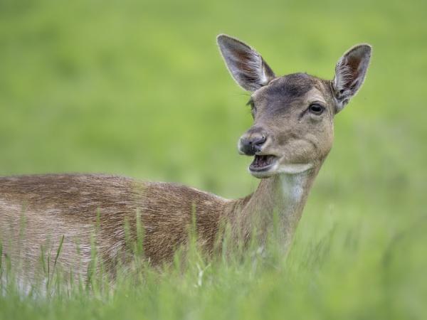 Fallow Deer II by CraigWalker