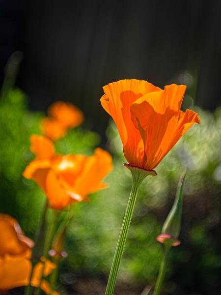Poppys by chavender
