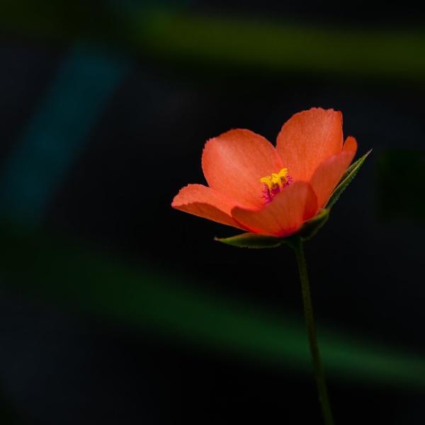 Scarlet pimpernel by chavender