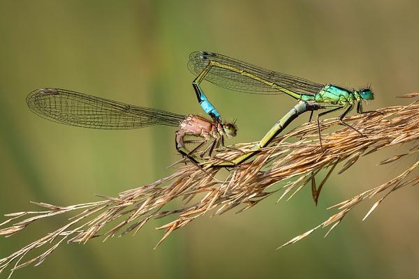 Mating Damselflies by BydoR9
