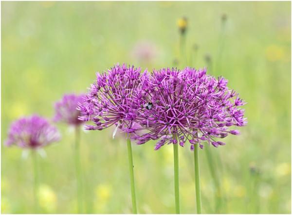 Alliums by capto