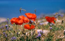 Cyprus Poppies