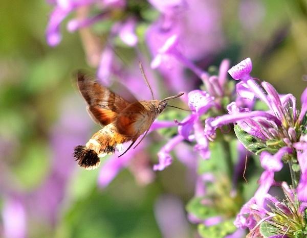 Hummingbird moth by Coen