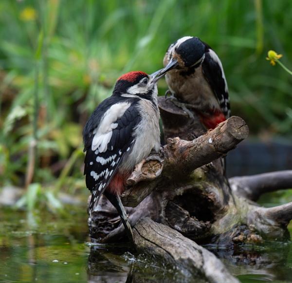Woodpeckers by 10delboy
