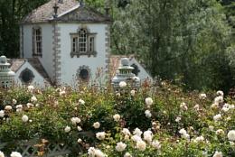 ivory Rosa 'Gardenia' at Bodnant gardens