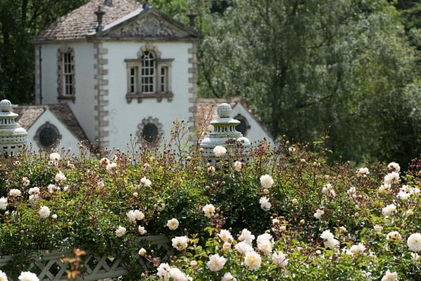 ivory Rosa \'Gardenia\' at Bodnant gardens by Danny1970