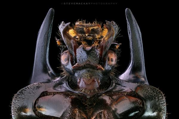 Minotaur Beetle by SteveMackay