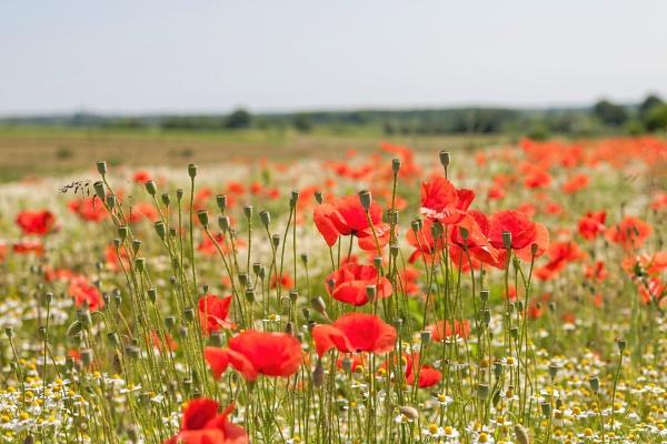 Poppy field by drDinko
