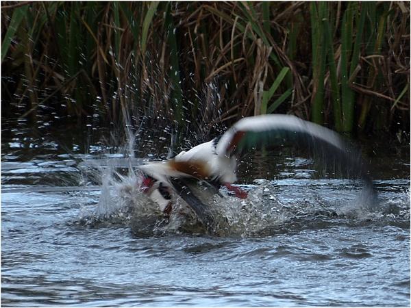 Fighting Ducks by sueriley