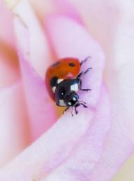 Ladybird in Pink