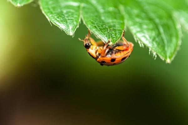 ladybird on strawberry leaf by felixdcat