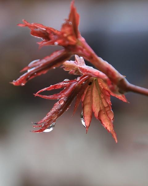 maple leaf by felixdcat