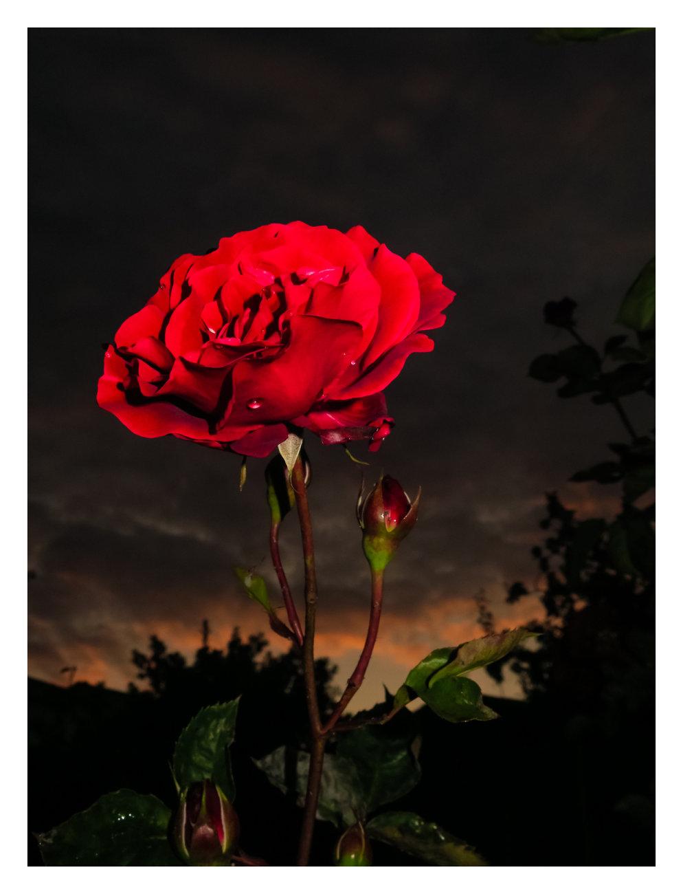 Spring rose update
