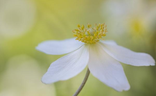 Anemone sylvestris by janedibnah