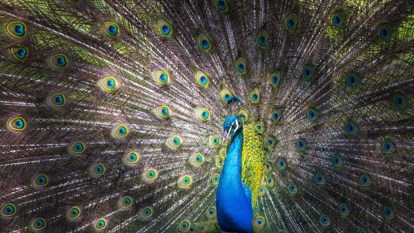 Peacock by rnmchinnor