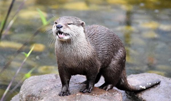 # Otter by davyskid