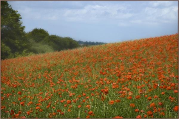 Poppy Fields by AlfieK