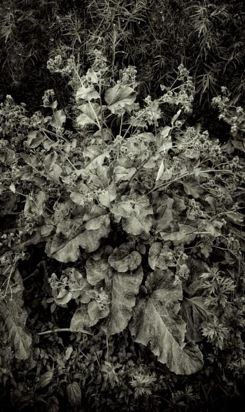 city weeds: burdock by leo_nid