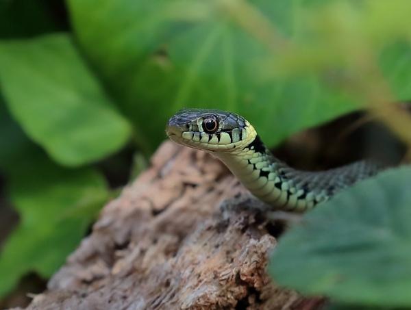 Juvenile Grass Snake by Juanita