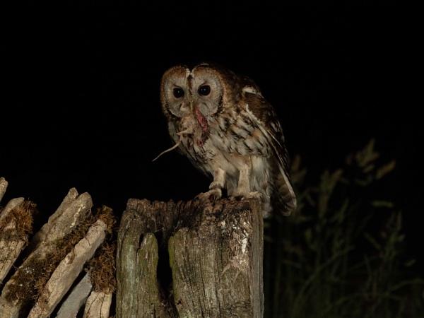 Tawny Owl Dinner by ChloeCoxOriginals