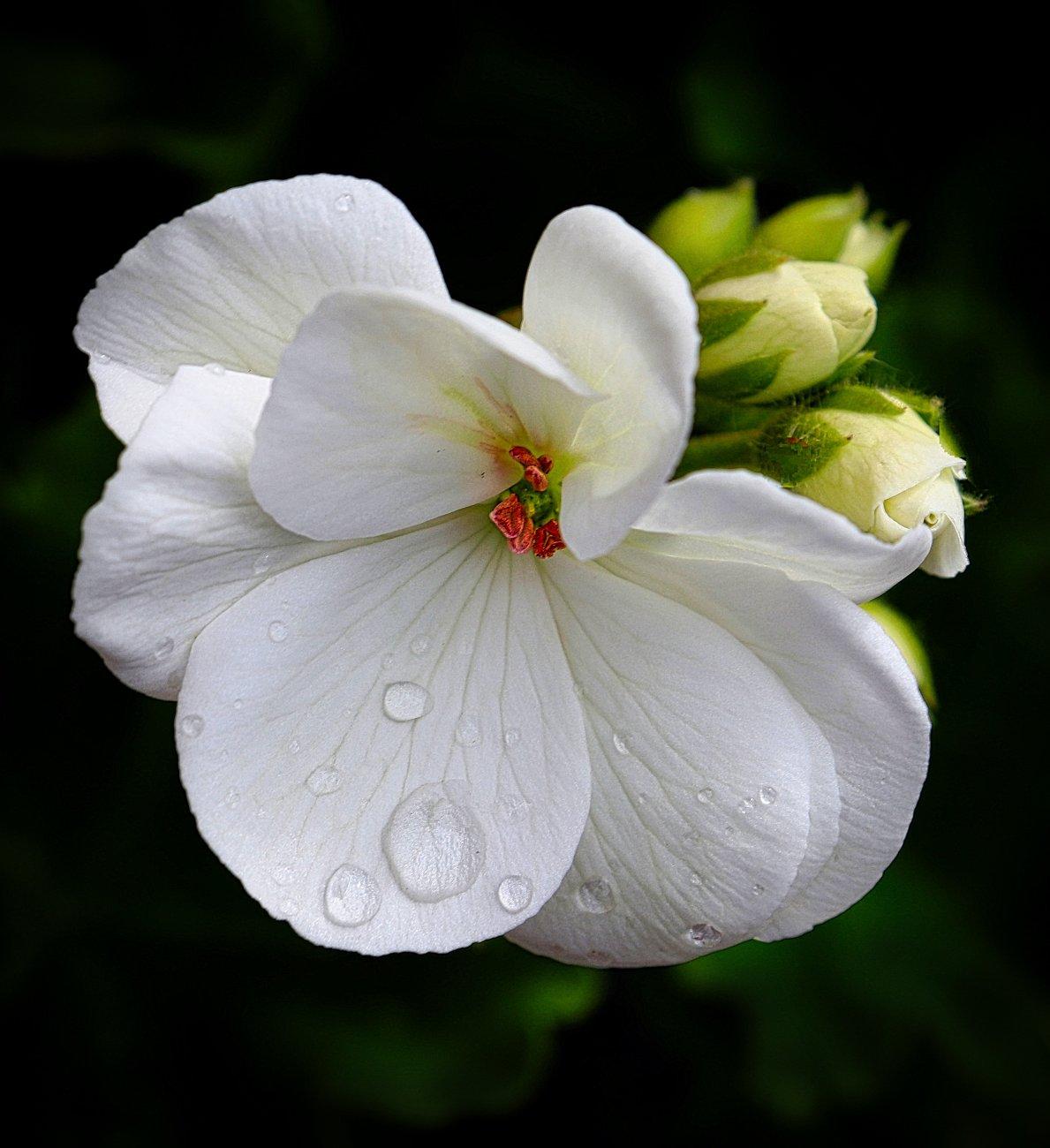 """Pelargonium """"Paloma"""""""