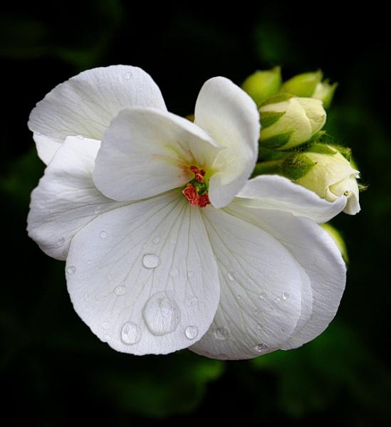 """Pelargonium \""""Paloma\"""" by adagio"""
