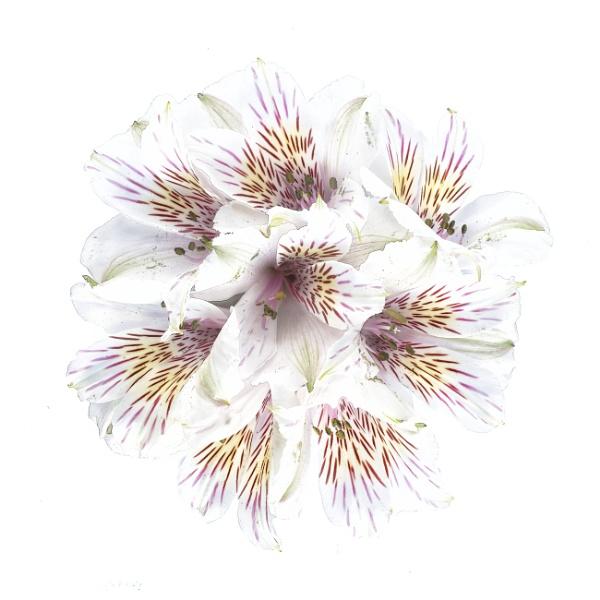 Alstroemeria Posey by swilliams71