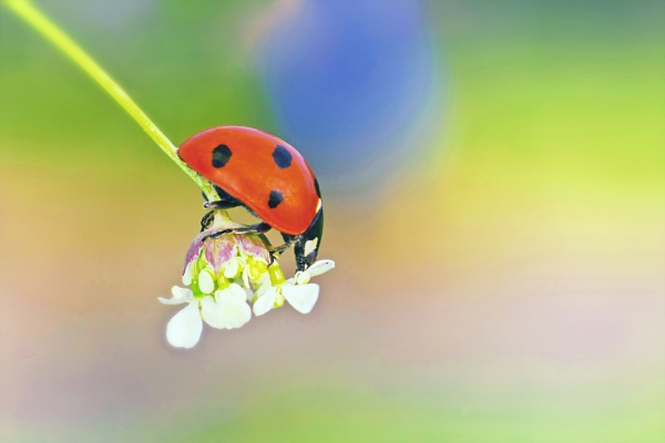 Ladybug on white flower by Saastad