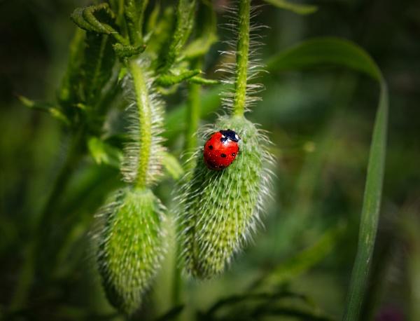 Ladybird on a poppy head by deejay10