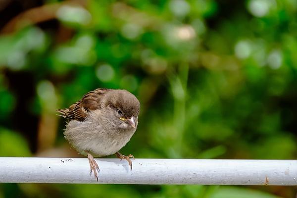 Juvenile House Sparrow by photographerjoe