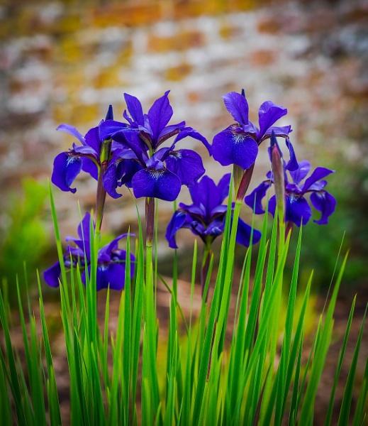 Iris by athos55