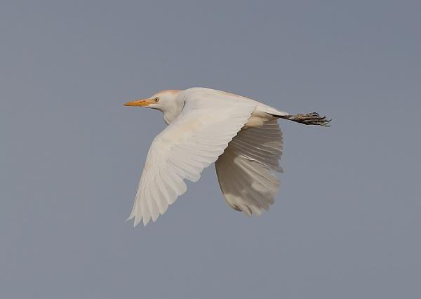 Cattle Egret in Flight by NeilSchofield